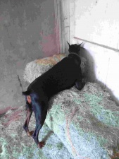 Samson searching for rats in the barn.